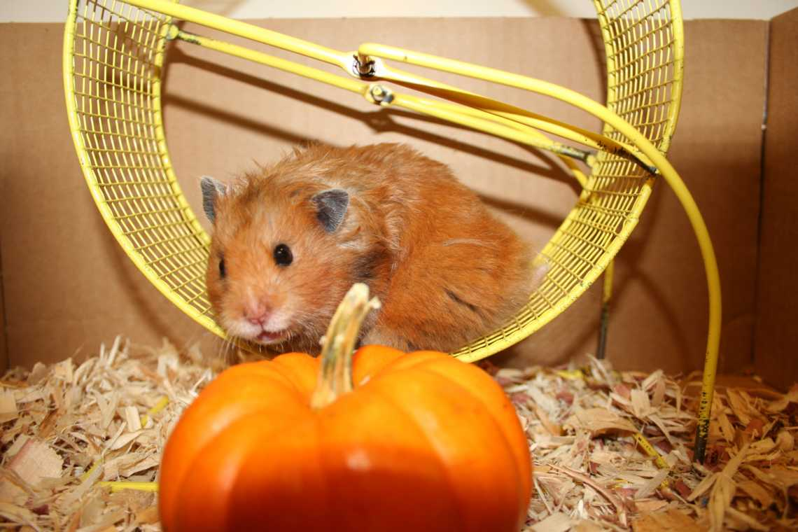 All About Black Bear Hamsters - Hamster Fanciers